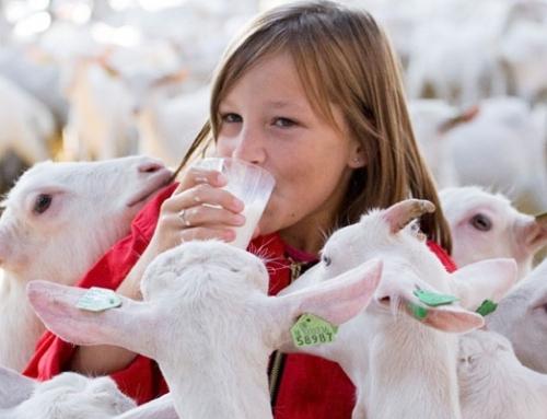 Geitenmelk gezonder dan koemelk, ook als we willen afvallen?