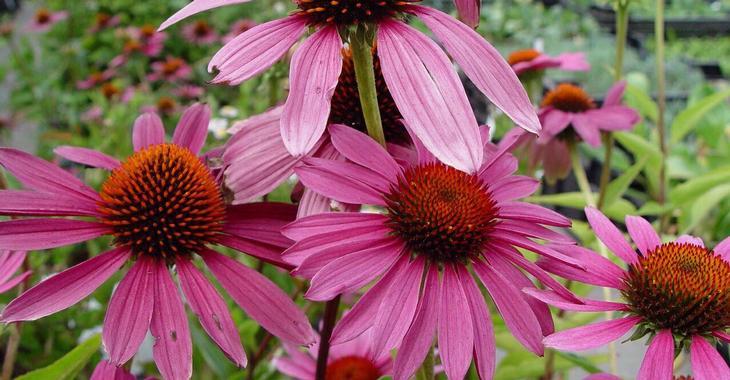 Echinacea tegen virus besmettingen