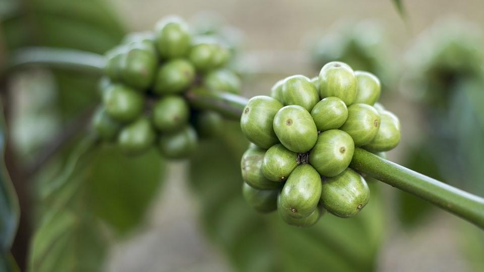 Groene koffie en wat dit kan betekenen voor je gezondheid + Recepten