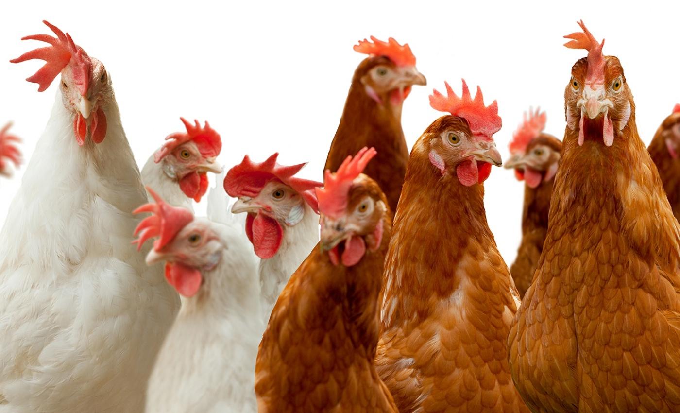 Wat is vogelgriep